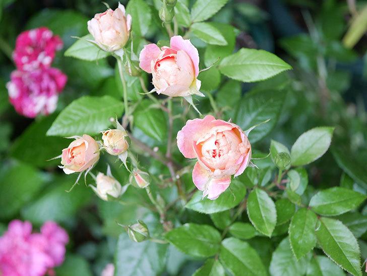 ランタン・シトロイユ(Lanterne Citrouille)の花のピンクが強くなった。2020年-001.jpg
