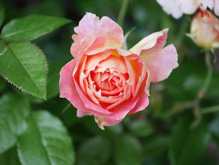 ランタン・シトロイユ(Lanterne Citrouille)の花のピンクが強くなった。2020年-004.jpg