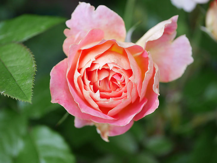 ランタン・シトロイユ(Lanterne Citrouille)の花のピンクが強くなった。2020年-005.jpg
