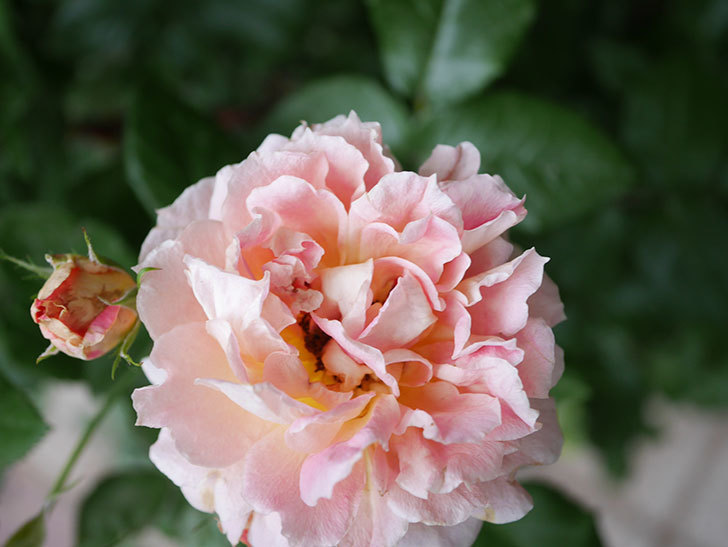 ランタン・シトロイユ(Lanterne Citrouille)の花のピンクが強くなった。2020年-006.jpg
