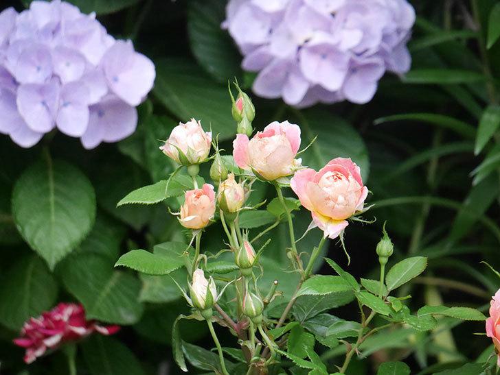ランタン・シトロイユ(Lanterne Citrouille)の花のピンクが強くなった。2020年-008.jpg