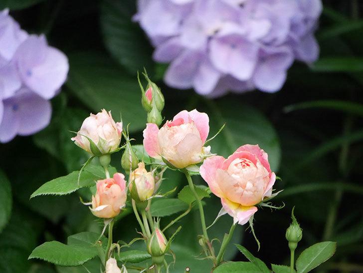 ランタン・シトロイユ(Lanterne Citrouille)の花のピンクが強くなった。2020年-010.jpg