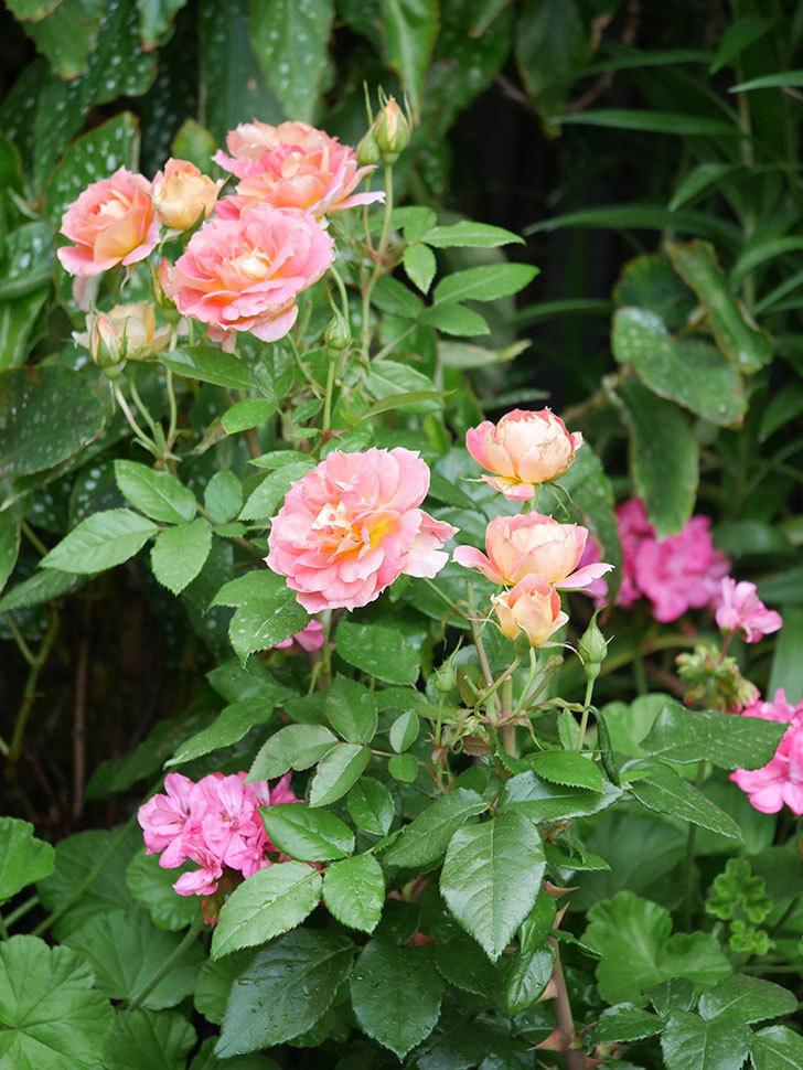 ランタン・シトロイユ(Lanterne Citrouille)の花のピンクが強くなった。2020年-011.jpg