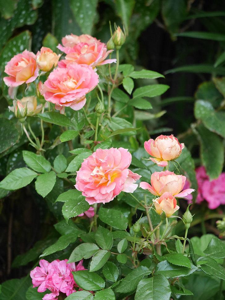 ランタン・シトロイユ(Lanterne Citrouille)の花のピンクが強くなった。2020年-012.jpg