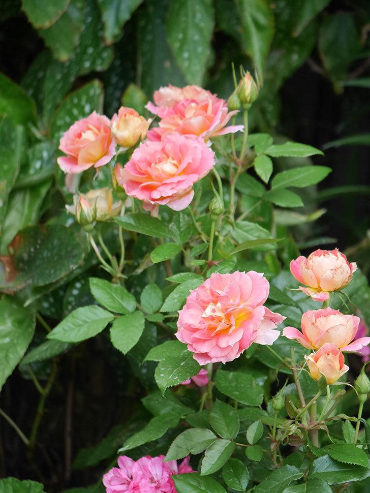 ランタン・シトロイユ(Lanterne Citrouille)の花のピンクが強くなった。2020年-013.jpg