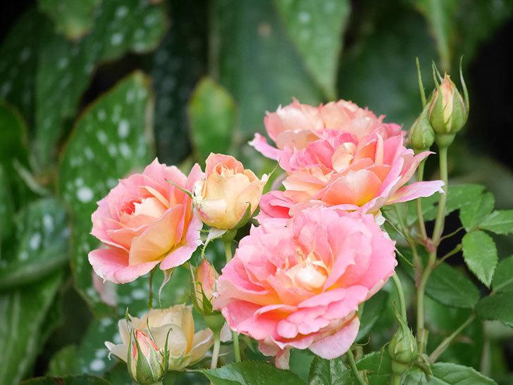 ランタン・シトロイユ(Lanterne Citrouille)の花のピンクが強くなった。2020年-014.jpg