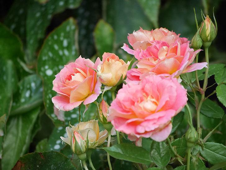 ランタン・シトロイユ(Lanterne Citrouille)の花のピンクが強くなった。2020年-015.jpg