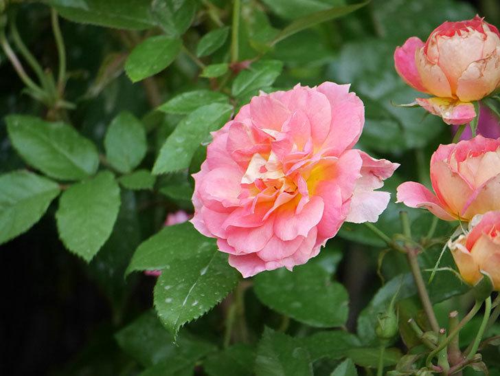 ランタン・シトロイユ(Lanterne Citrouille)の花のピンクが強くなった。2020年-016.jpg