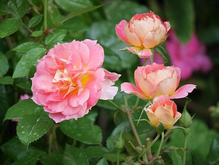 ランタン・シトロイユ(Lanterne Citrouille)の花のピンクが強くなった。2020年-017.jpg