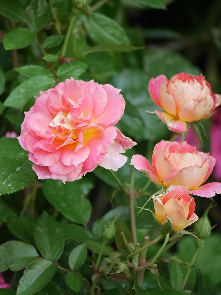 ランタン・シトロイユ(Lanterne Citrouille)の花のピンクが強くなった。2020年-018.jpg