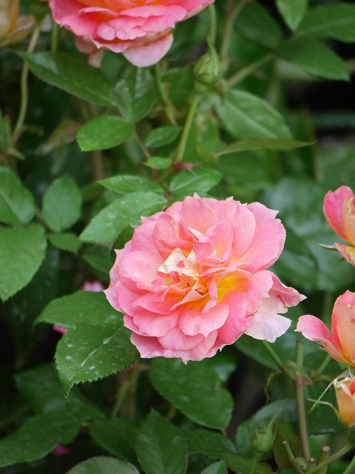 ランタン・シトロイユ(Lanterne Citrouille)の花のピンクが強くなった。2020年-019.jpg