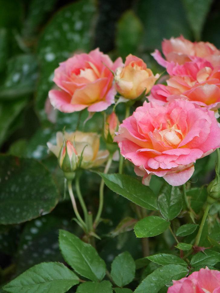 ランタン・シトロイユ(Lanterne Citrouille)の花のピンクが強くなった。2020年-021.jpg