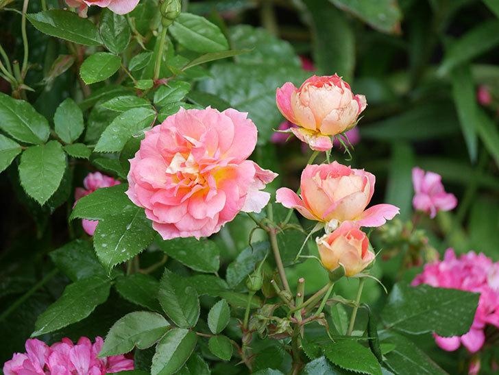 ランタン・シトロイユ(Lanterne Citrouille)の花のピンクが強くなった。2020年-022.jpg