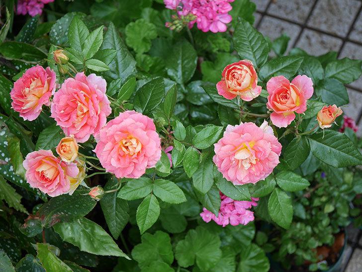 ランタン・シトロイユ(Lanterne Citrouille)の花のピンクが強くなった。2020年-025.jpg