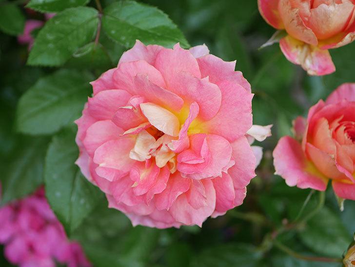 ランタン・シトロイユ(Lanterne Citrouille)の花のピンクが強くなった。2020年-026.jpg
