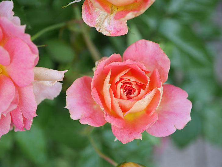 ランタン・シトロイユ(Lanterne Citrouille)の花のピンクが強くなった。2020年-027.jpg
