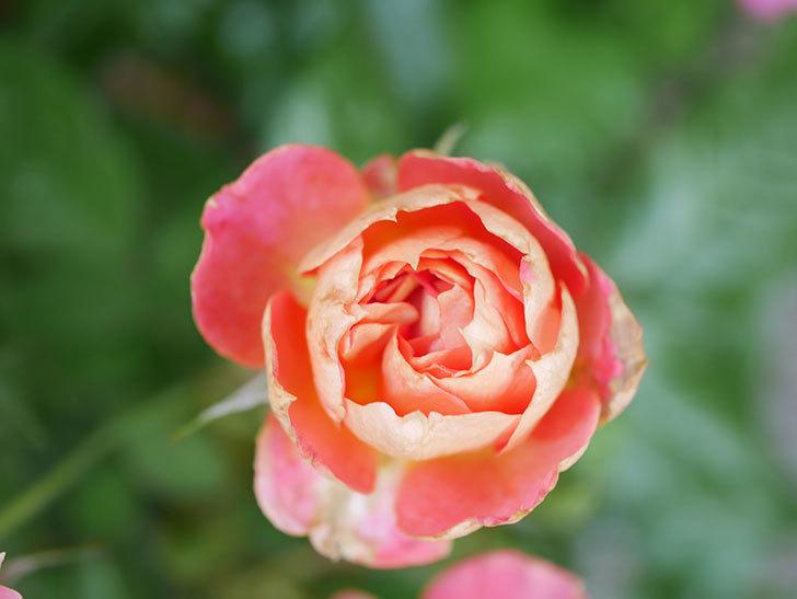 ランタン・シトロイユ(Lanterne Citrouille)の花のピンクが強くなった。2020年-028.jpg