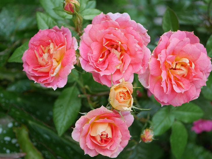 ランタン・シトロイユ(Lanterne Citrouille)の花のピンクが強くなった。2020年-030.jpg