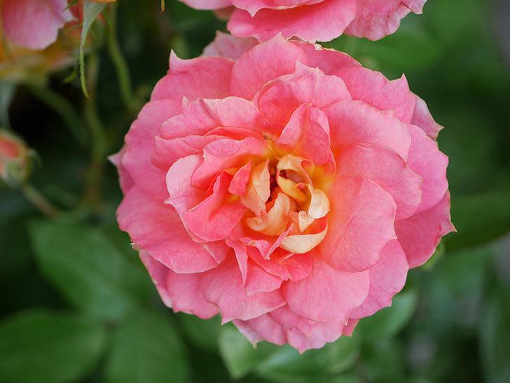 ランタン・シトロイユ(Lanterne Citrouille)の花のピンクが強くなった。2020年-031.jpg