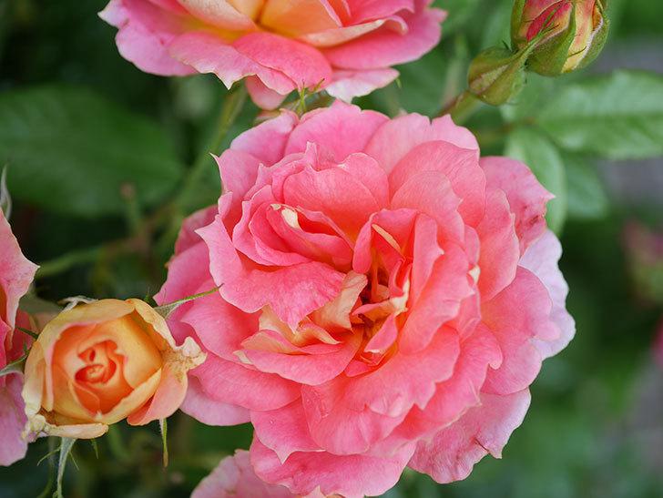 ランタン・シトロイユ(Lanterne Citrouille)の花のピンクが強くなった。2020年-032.jpg