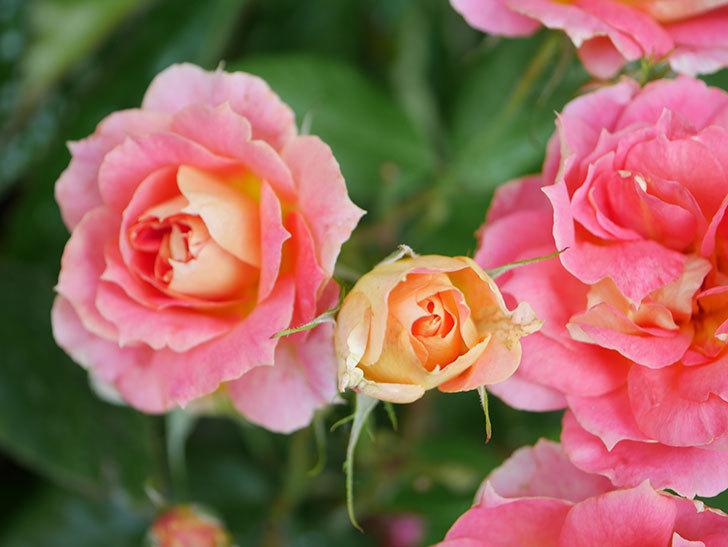 ランタン・シトロイユ(Lanterne Citrouille)の花のピンクが強くなった。2020年-033.jpg