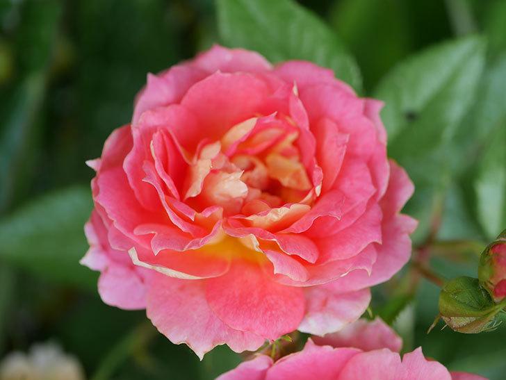 ランタン・シトロイユ(Lanterne Citrouille)の花のピンクが強くなった。2020年-035.jpg