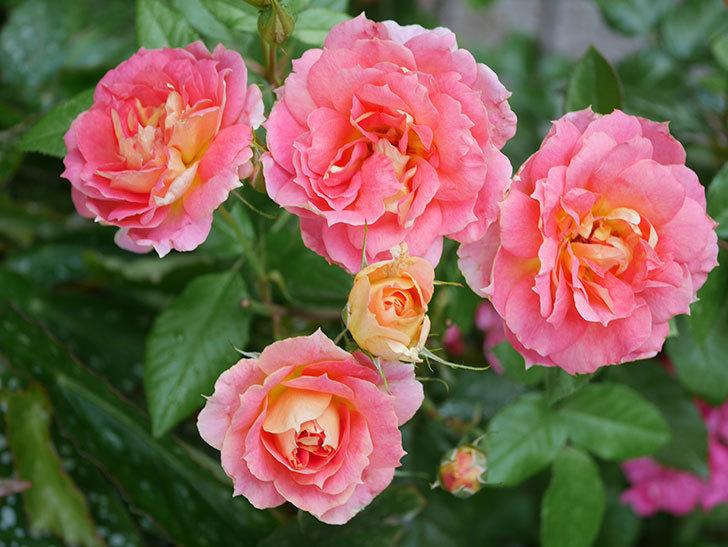 ランタン・シトロイユ(Lanterne Citrouille)の花のピンクが強くなった。2020年-036.jpg