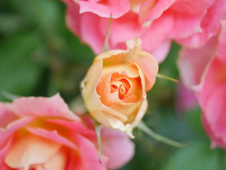 ランタン・シトロイユ(Lanterne Citrouille)の花のピンクが強くなった。2020年-037.jpg