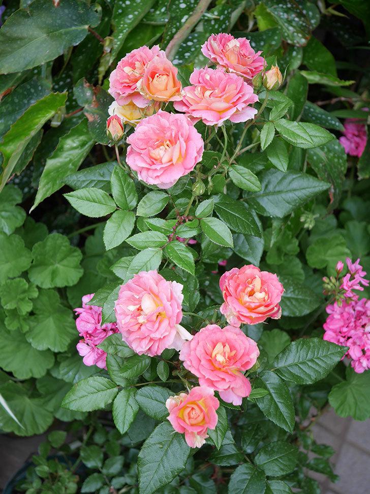 ランタン・シトロイユ(Lanterne Citrouille)の花のピンクが強くなった。2020年-038.jpg