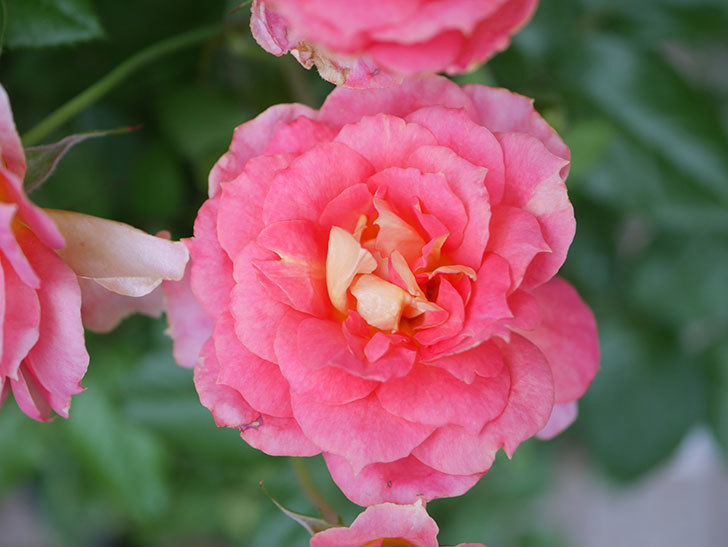 ランタン・シトロイユ(Lanterne Citrouille)の花のピンクが強くなった。2020年-041.jpg