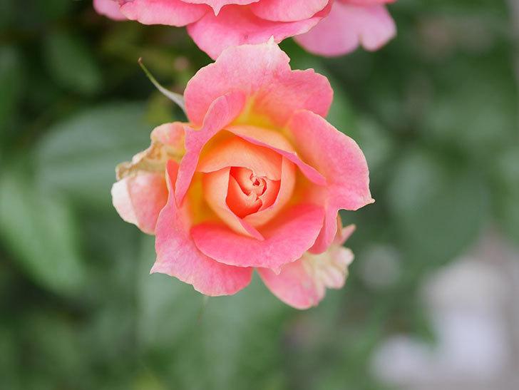 ランタン・シトロイユ(Lanterne Citrouille)の花のピンクが強くなった。2020年-042.jpg