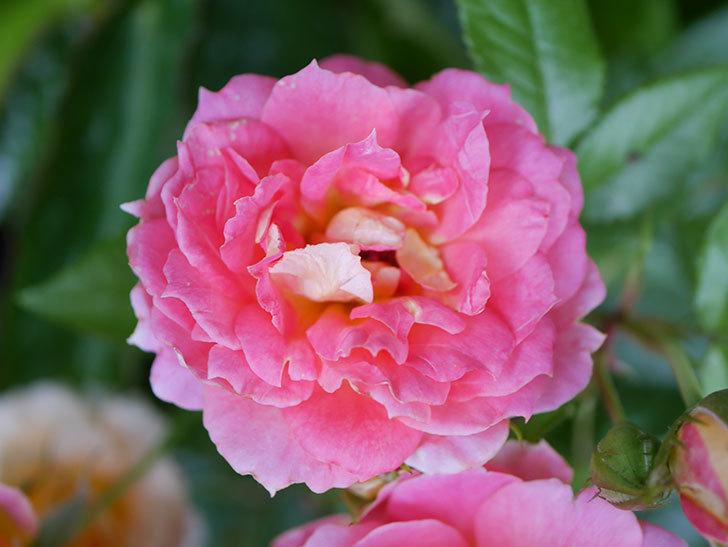 ランタン・シトロイユ(Lanterne Citrouille)の花のピンクが強くなった。2020年-045.jpg
