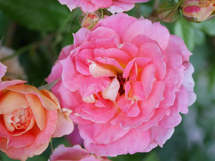 ランタン・シトロイユ(Lanterne Citrouille)の花のピンクが強くなった。2020年-046.jpg