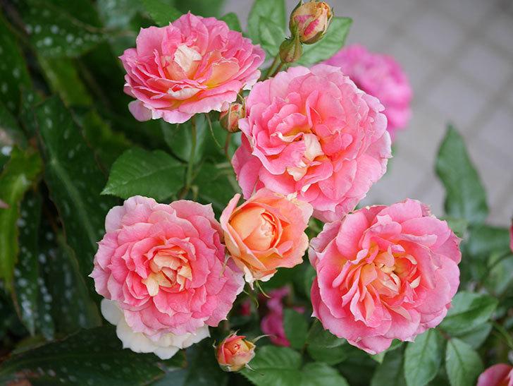 ランタン・シトロイユ(Lanterne Citrouille)の花のピンクが強くなった。2020年-047.jpg