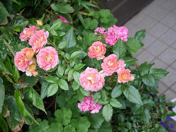 ランタン・シトロイユ(Lanterne Citrouille)の花のピンクが強くなった。2020年-048.jpg