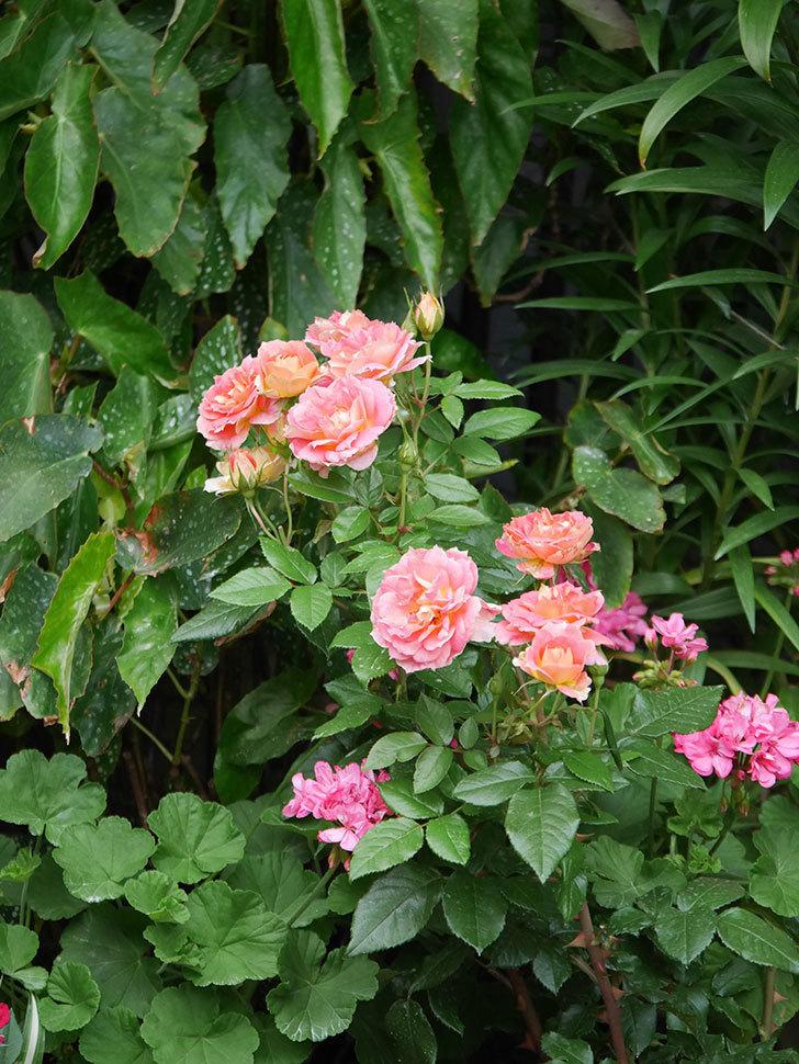 ランタン・シトロイユ(Lanterne Citrouille)の花のピンクが強くなった。2020年-049.jpg