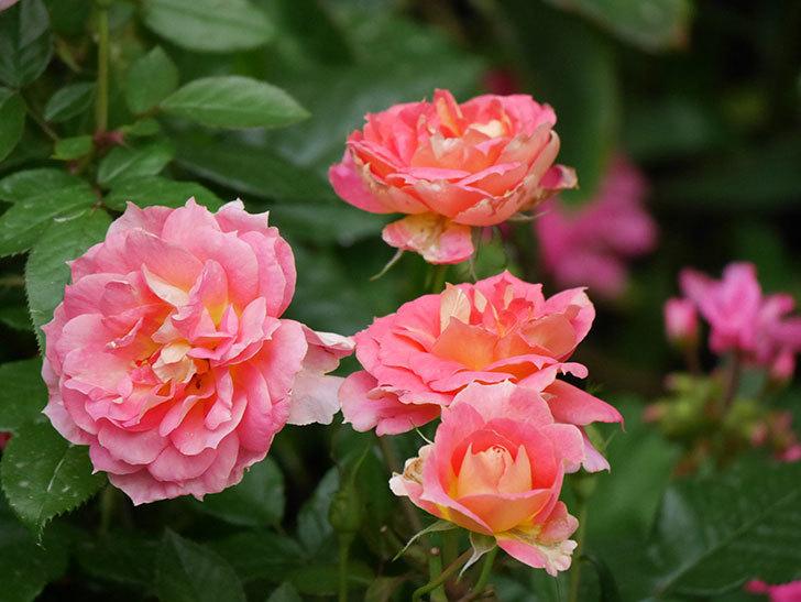ランタン・シトロイユ(Lanterne Citrouille)の花のピンクが強くなった。2020年-050.jpg