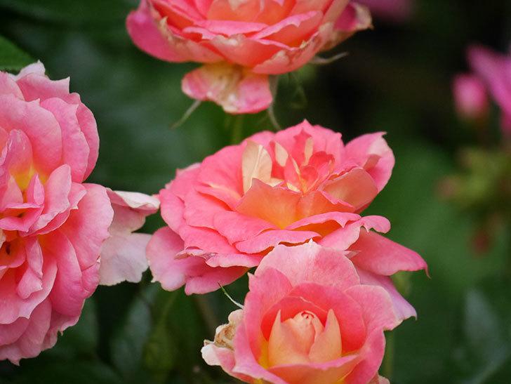 ランタン・シトロイユ(Lanterne Citrouille)の花のピンクが強くなった。2020年-053.jpg