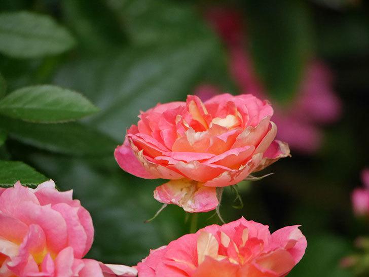ランタン・シトロイユ(Lanterne Citrouille)の花のピンクが強くなった。2020年-054.jpg