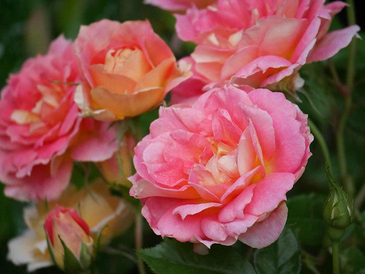 ランタン・シトロイユ(Lanterne Citrouille)の花のピンクが強くなった。2020年-055.jpg