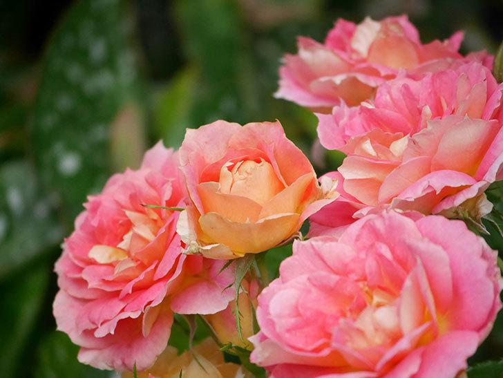 ランタン・シトロイユ(Lanterne Citrouille)の花のピンクが強くなった。2020年-056.jpg