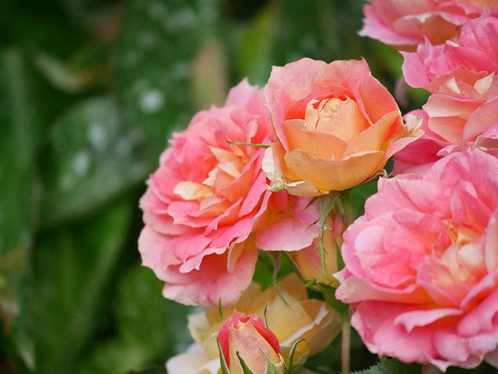 ランタン・シトロイユ(Lanterne Citrouille)の花のピンクが強くなった。2020年-057.jpg