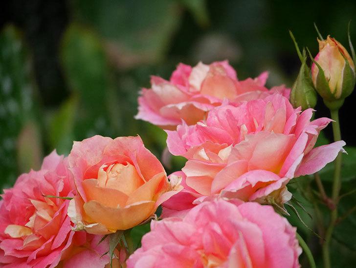 ランタン・シトロイユ(Lanterne Citrouille)の花のピンクが強くなった。2020年-058.jpg