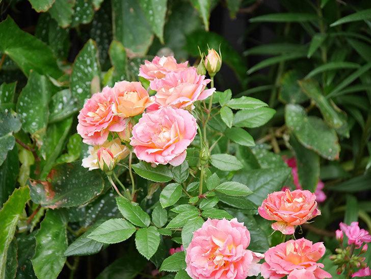 ランタン・シトロイユ(Lanterne Citrouille)の花のピンクが強くなった。2020年-059.jpg