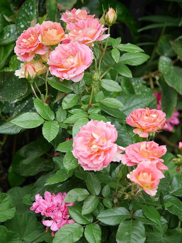 ランタン・シトロイユ(Lanterne Citrouille)の花のピンクが強くなった。2020年-060.jpg