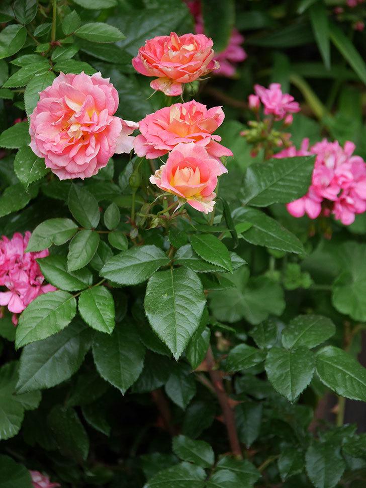 ランタン・シトロイユ(Lanterne Citrouille)の花のピンクが強くなった。2020年-061.jpg