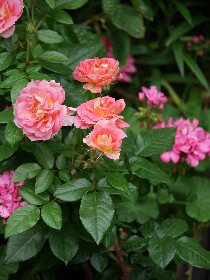 ランタン・シトロイユ(Lanterne Citrouille)の花のピンクが強くなった。2020年-062.jpg