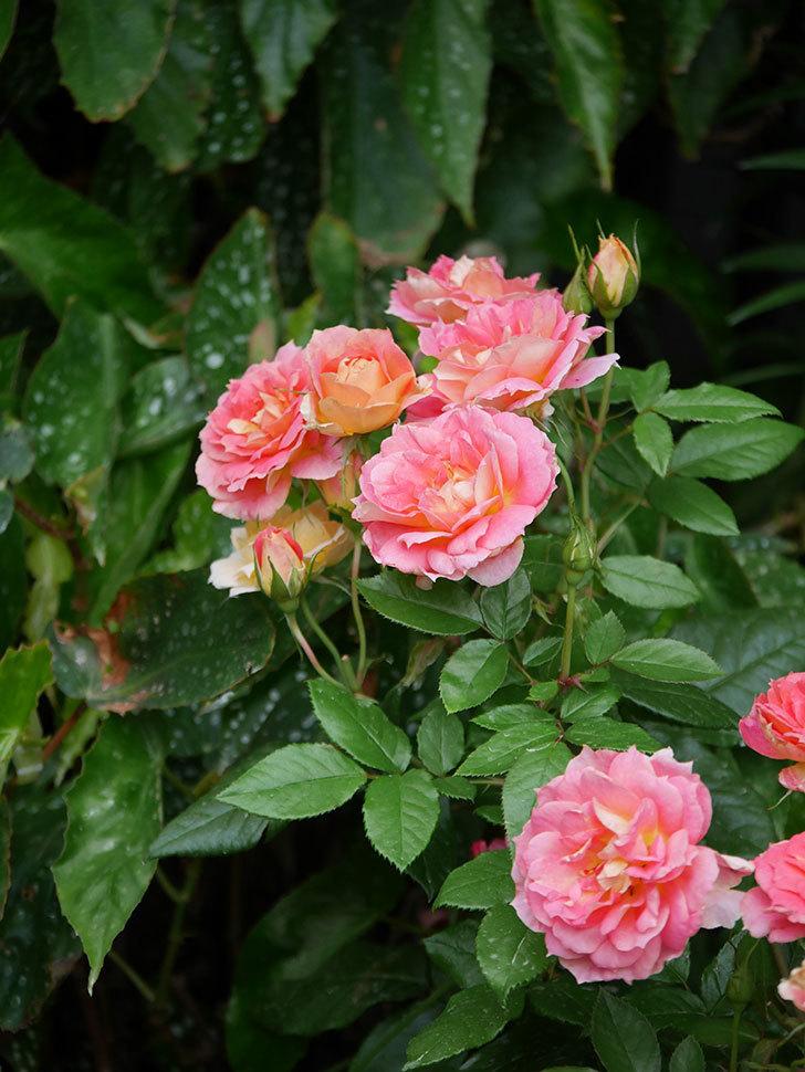 ランタン・シトロイユ(Lanterne Citrouille)の花のピンクが強くなった。2020年-063.jpg