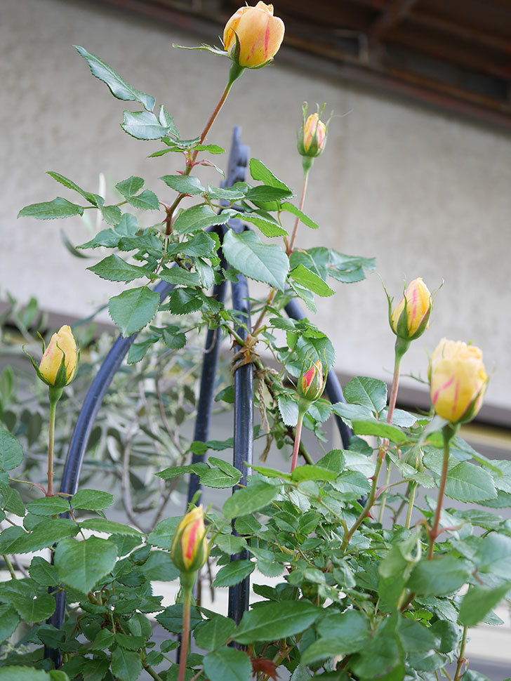 ランタン・シトロイユ(Lanterne Citrouille)の蕾が膨らんで来た。半ツルバラ。2021年-010.jpg