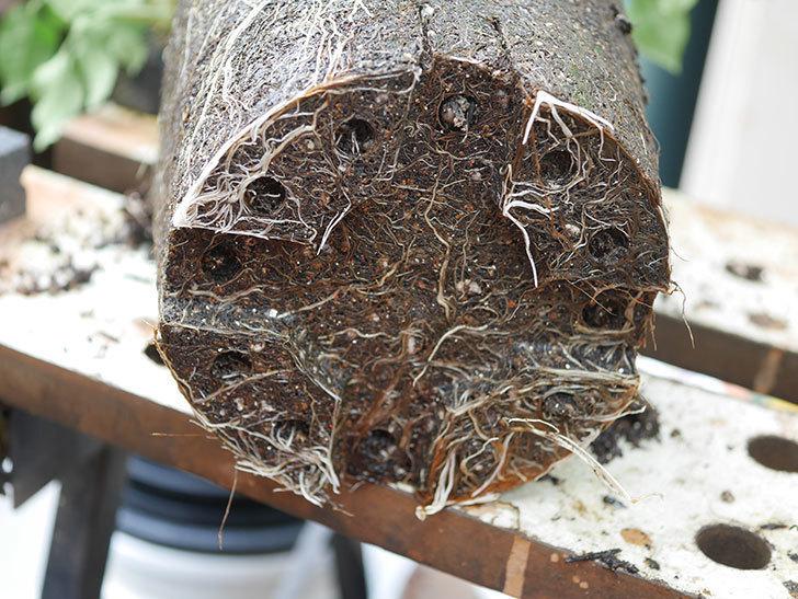 ランタン・シトロイユ(Lanterne Citrouille)を8号ロング鉢に植え換えた。2020年-006.jpg